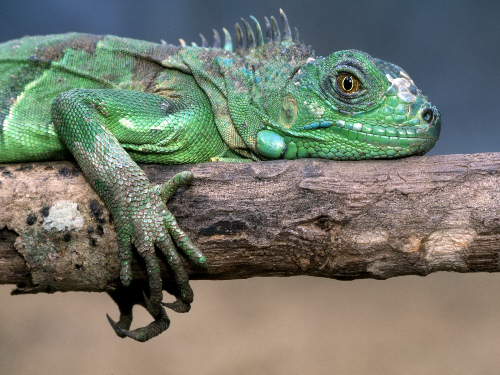 Iguana HD Wallpapers images High Definition   All HD Wallpapers 1600x1200