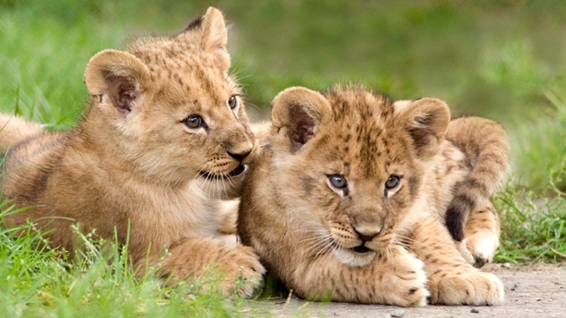 lion cubs african free hd wallpapers downloaded 1920x1080
