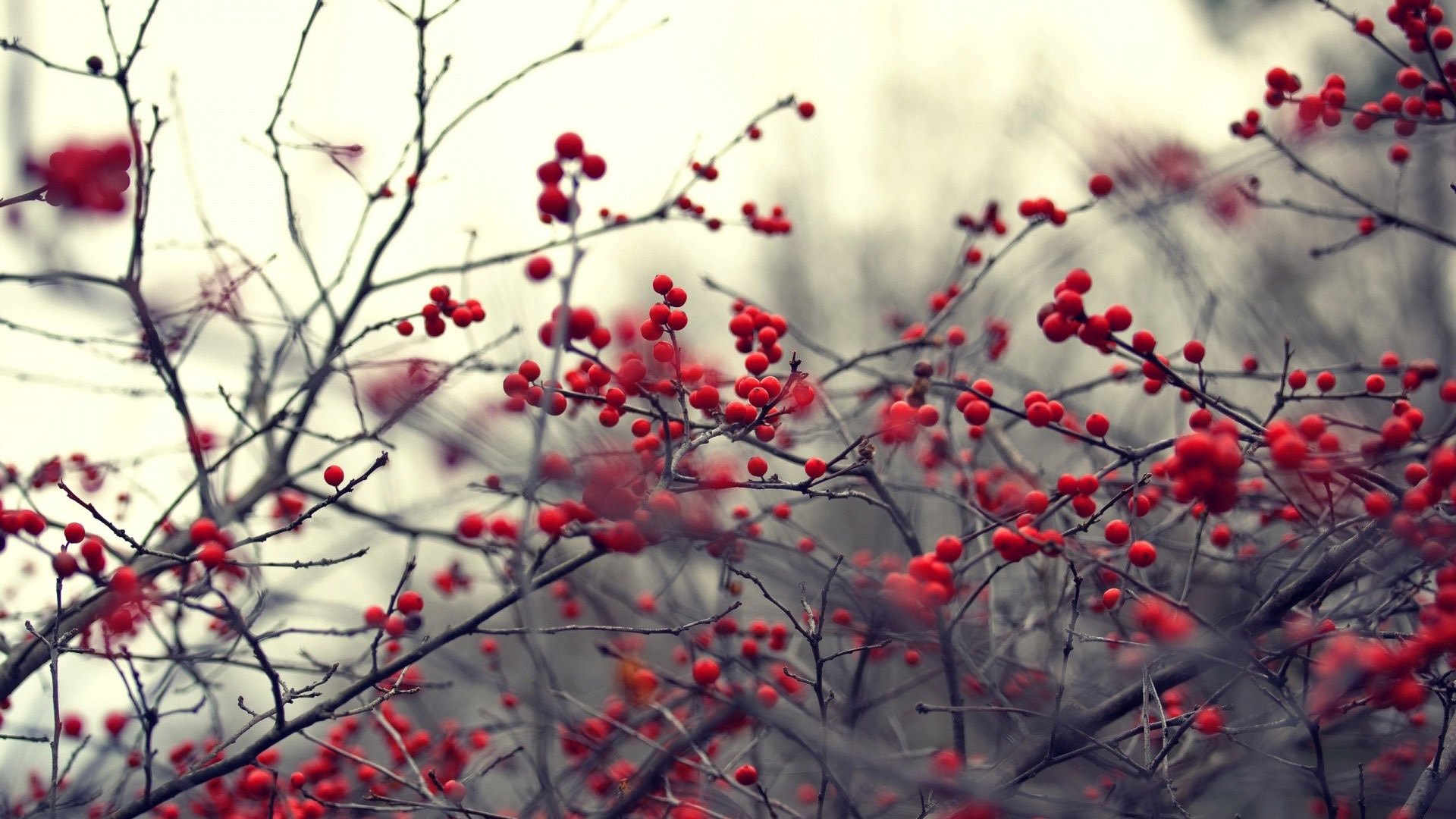 Red berries on branches Wallpaper Original HD Wallpapers 1920x1080