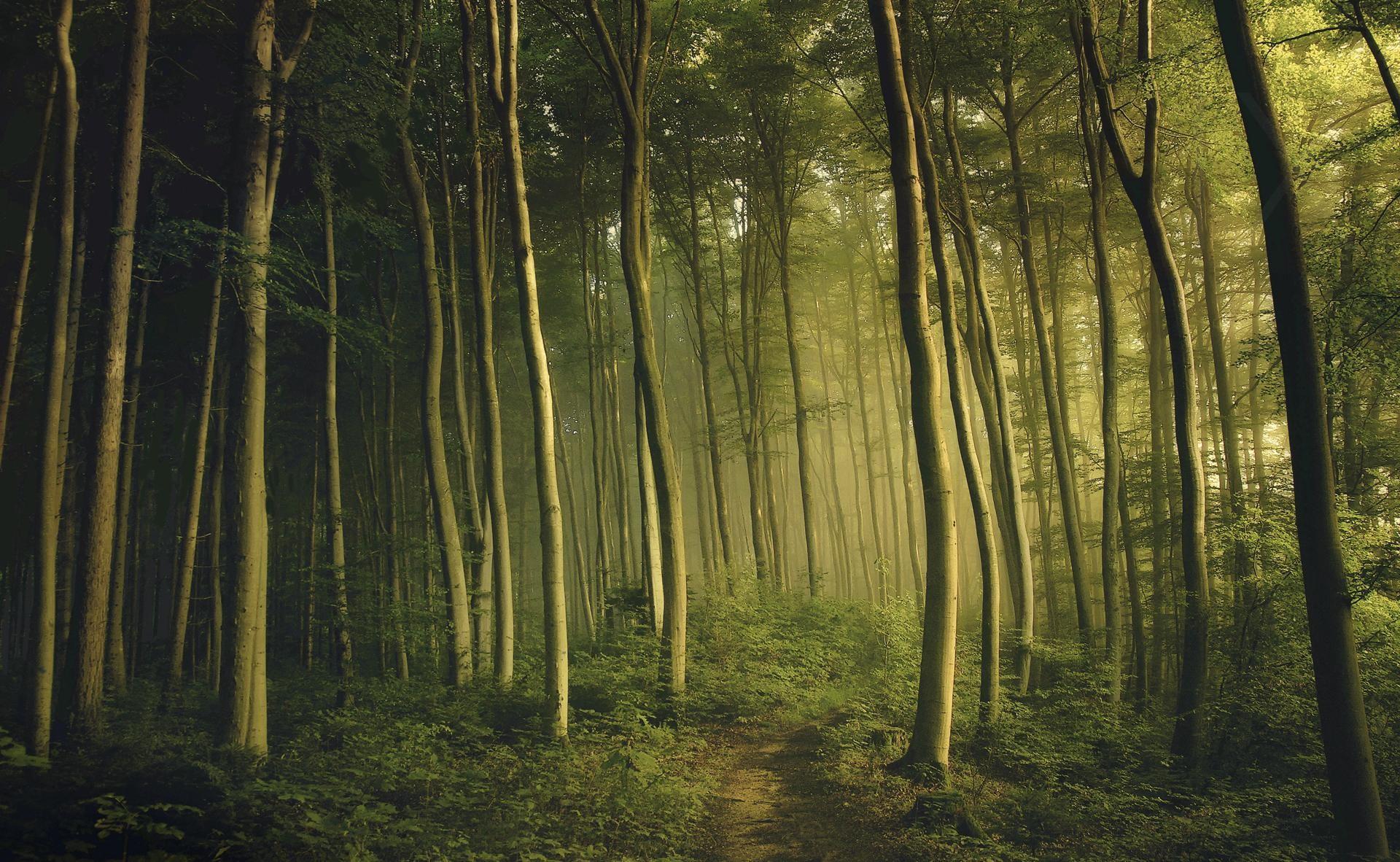 Обои лес деревья ветки туман стволы сосны папоротник