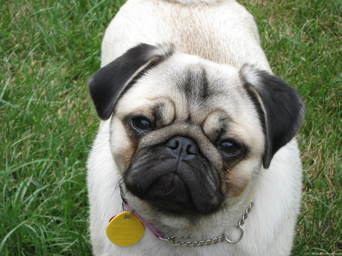 Pug Dogs Pictures 39 Hd Wallpaper   DogBreedsWallpaperscom 1200x900