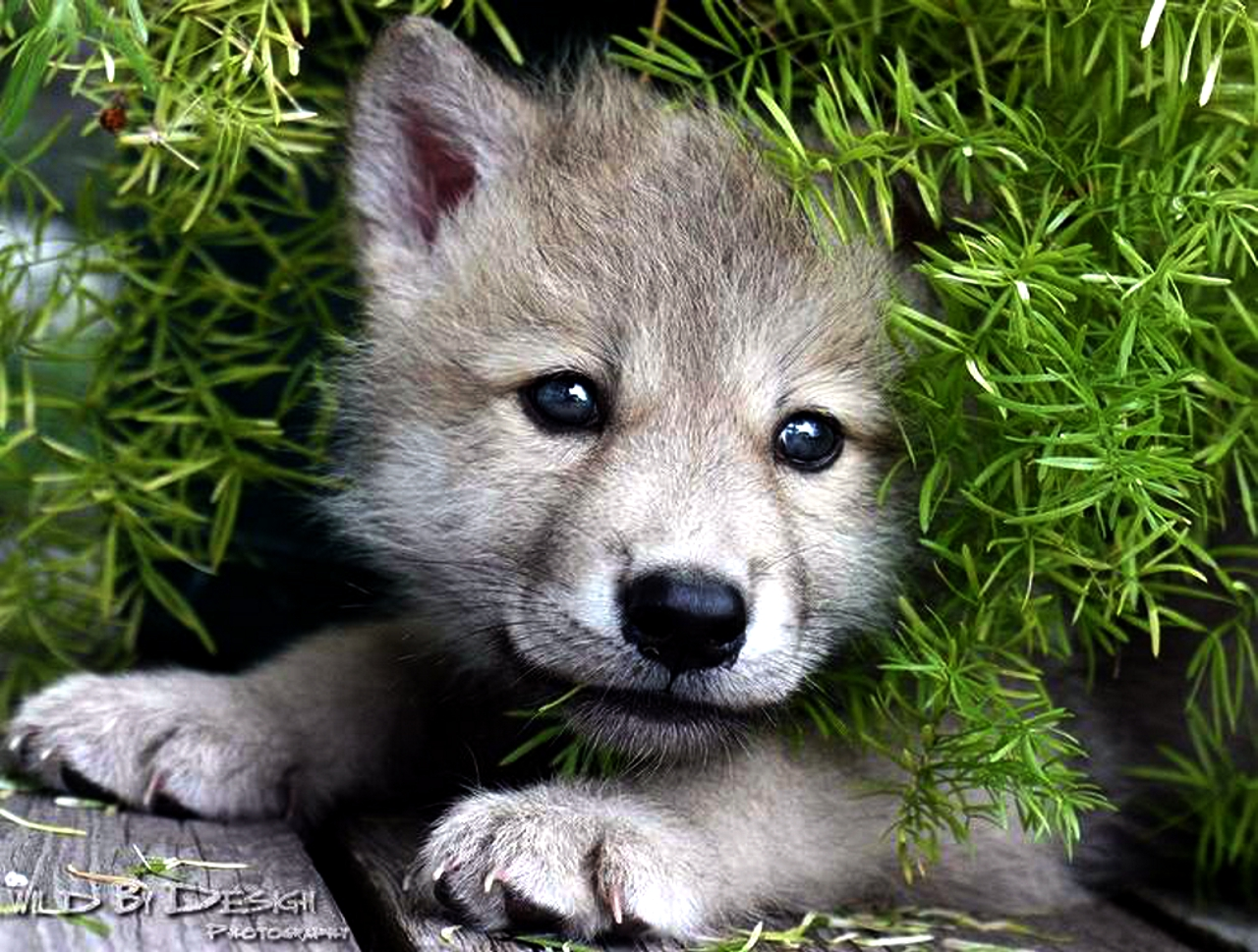 Free Download Arctic Wolf Pup Wallpaper Forwallpapercom 1280x969