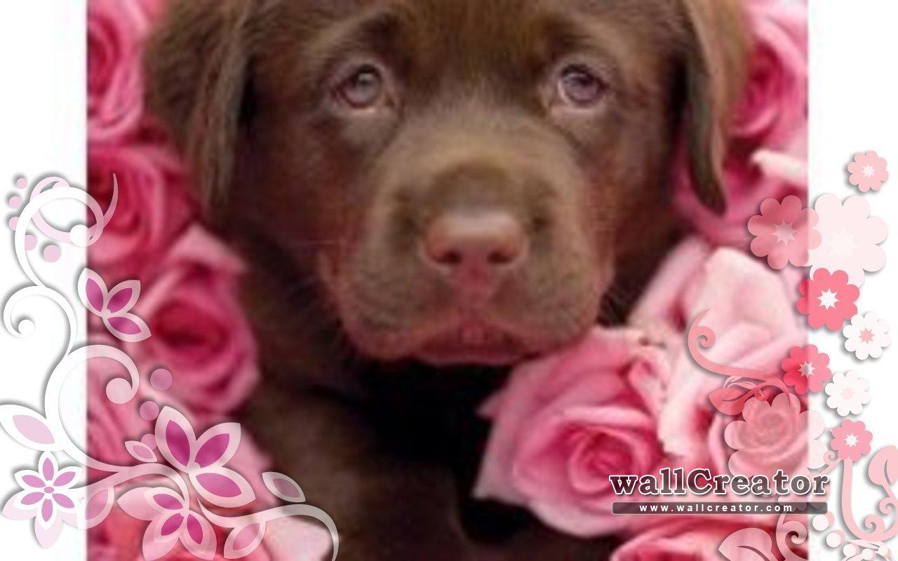Chocolate Lab Puppy Wallpaper Chocolate lab puppy wallpaper 1280x800