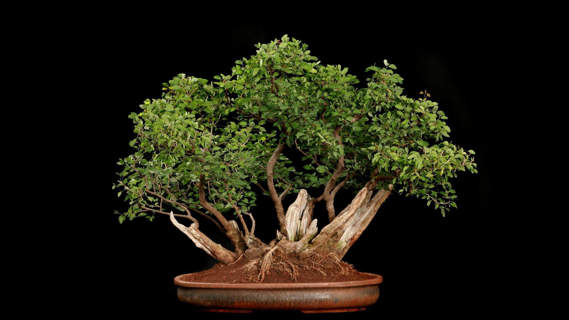 bonsai wallpaper wallpapersafari