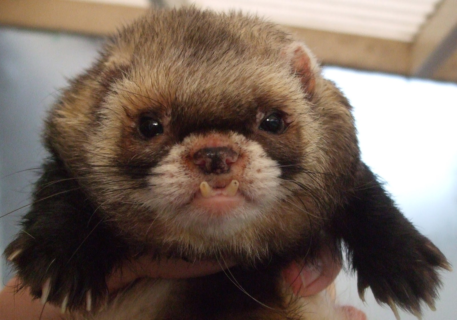 ferret face wallpaper background - photo #20