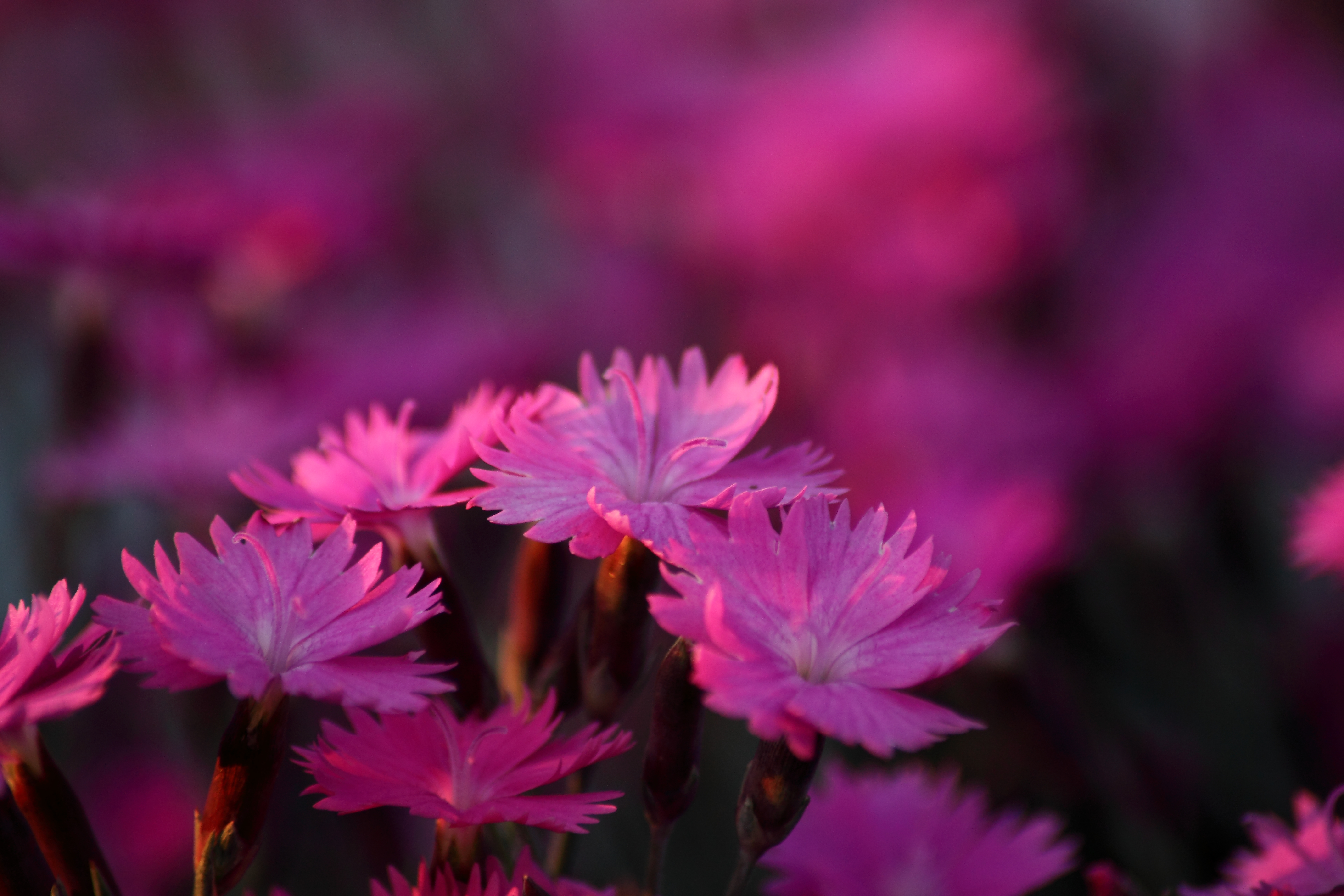 Spring Dianthus Burning Witch Flower Flowers Nature 5616x3744