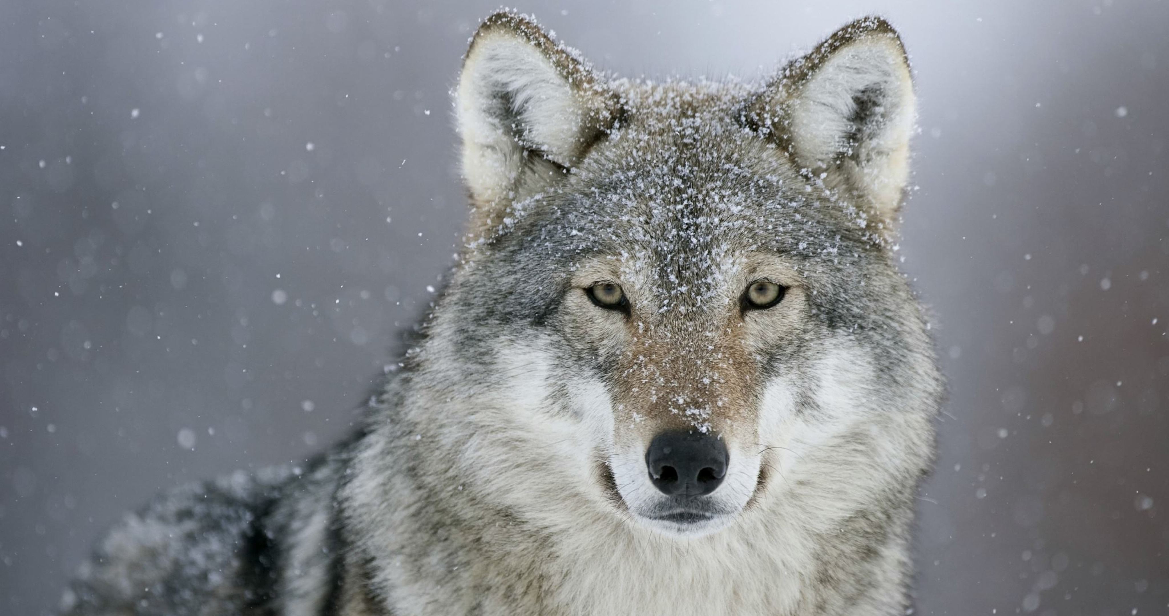 4K Wolves Wallpapers High Quality Download 4096x2160