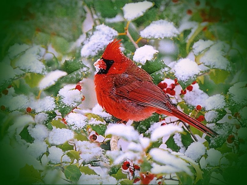 New Year Red Cardinal wallpaper   ForWallpapercom 808x606