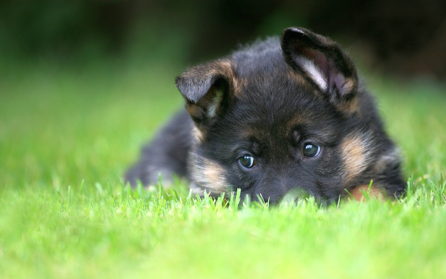 German Shepherd Puppies   Wallpaper High Definition High Quality 900x563