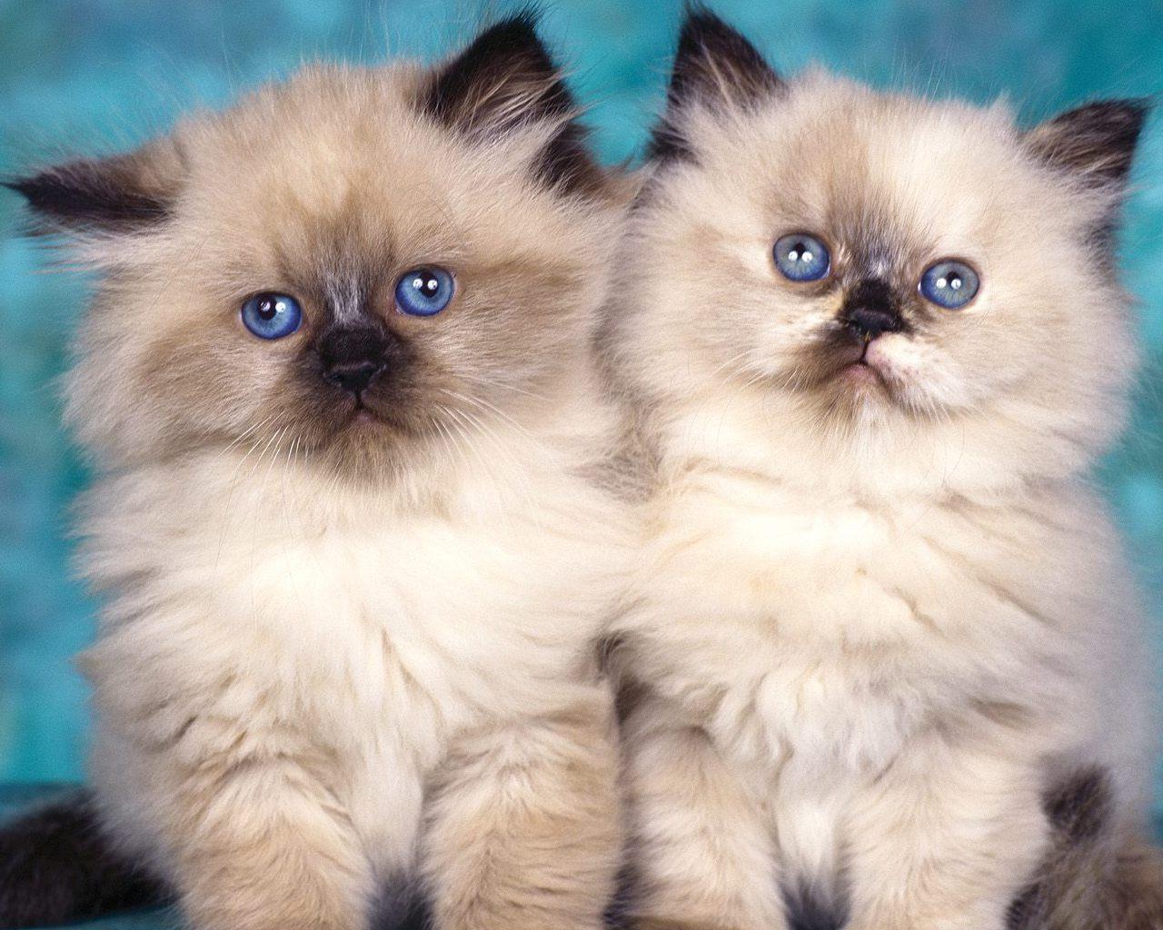 himalayan kittens Wallpaper 1280x1024