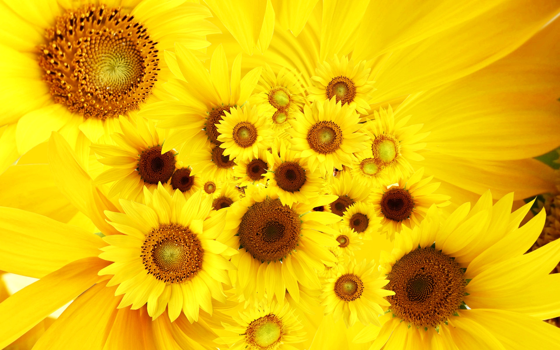 Cool Sunflowers Yellow Bright HD Desktop Backgrounds 1920x1200