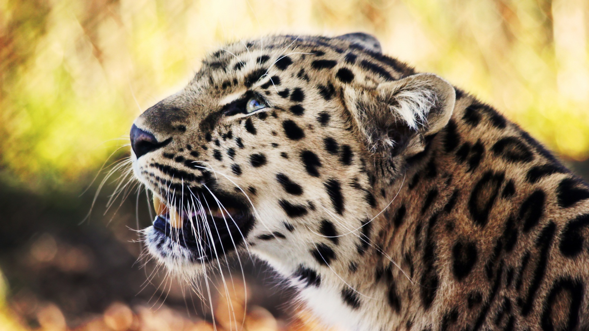 Leopard 1080p Wallpapers HD Wallpapers 1920x1080