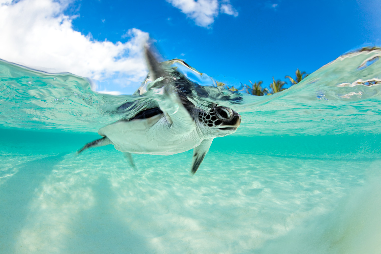 Baby Sea Turtle Wallpaper - WallpaperSafari - photo#30