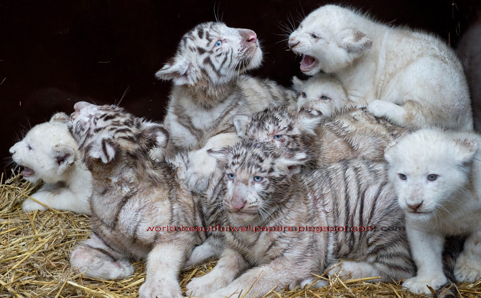 Beautiful Wallpapers white bengal tiger pictures 1600x992