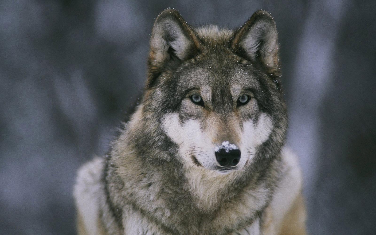 Fond dcran du dimanche Wolf Spirit   Au pays de Kandy 1600x1000