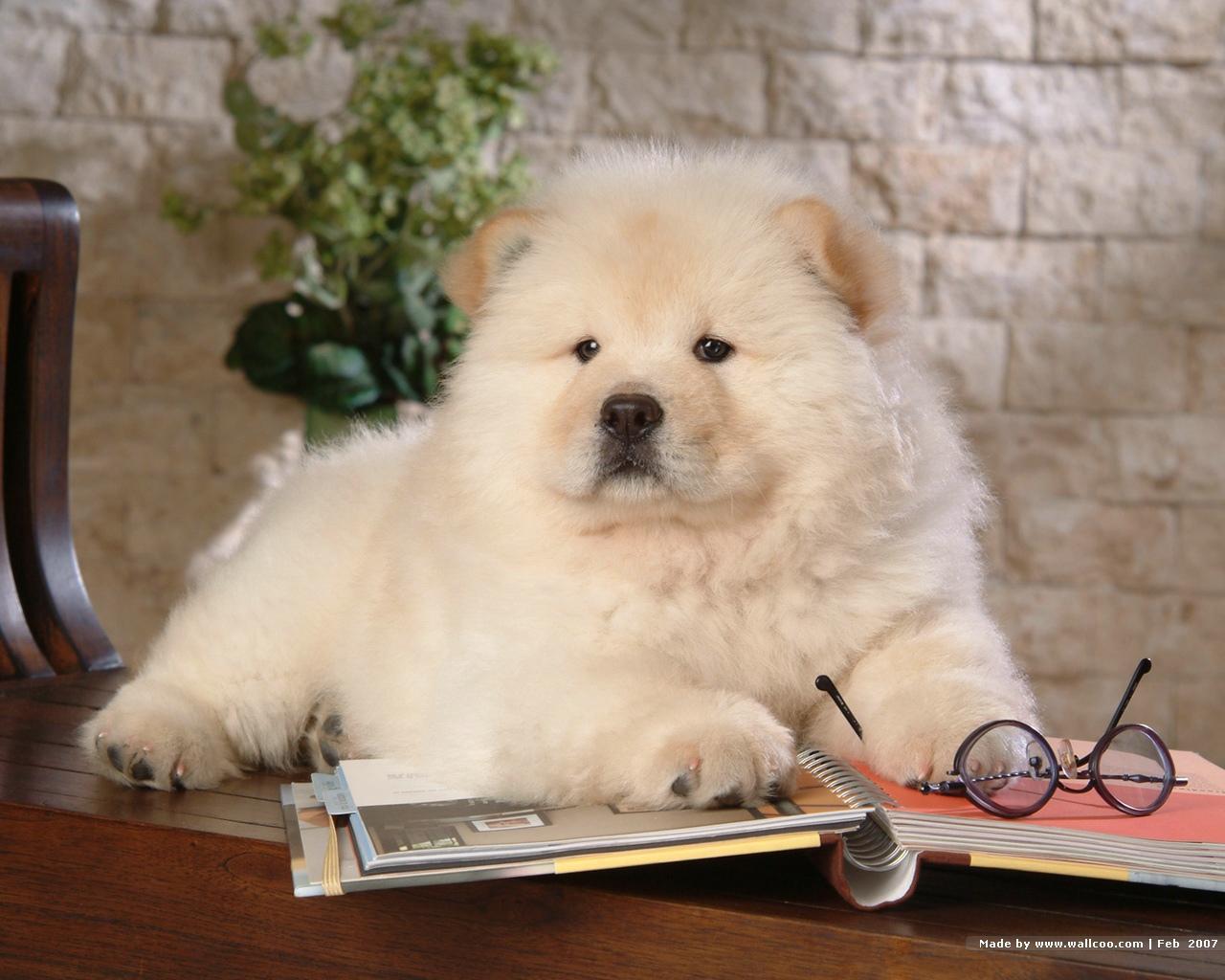 Chow Chow Wallpaper   Dogs Wallpaper 13936773 1280x1024