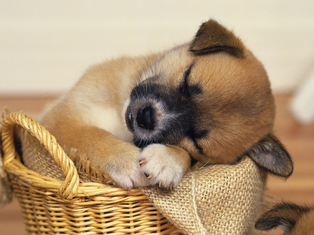 Cute Puppy Dog Wallpaper for your Computer Desktop 1024x768