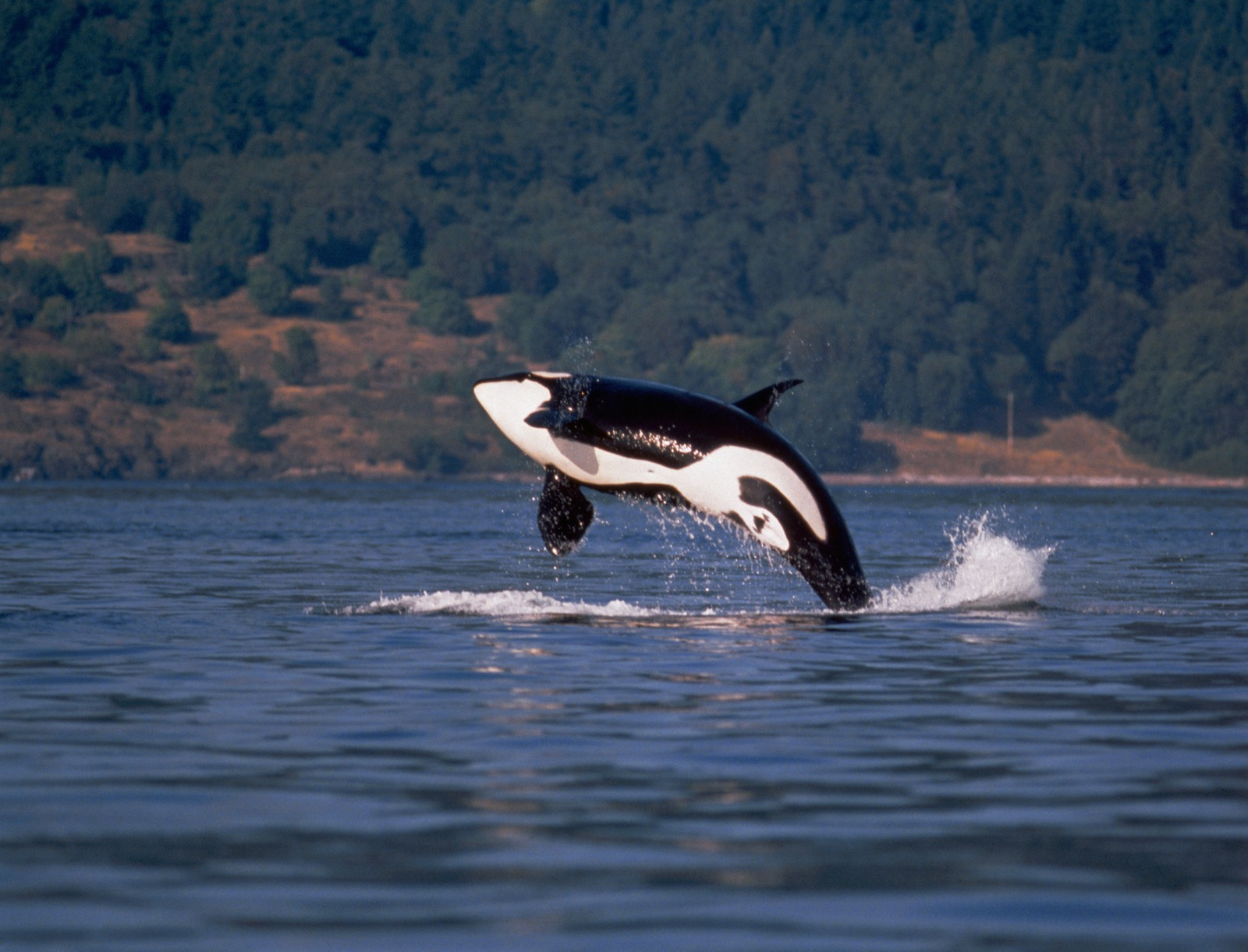 Backgrounds and Wallpapers Sharks and Killer Whales Wallpaper Set 2 1600x1221