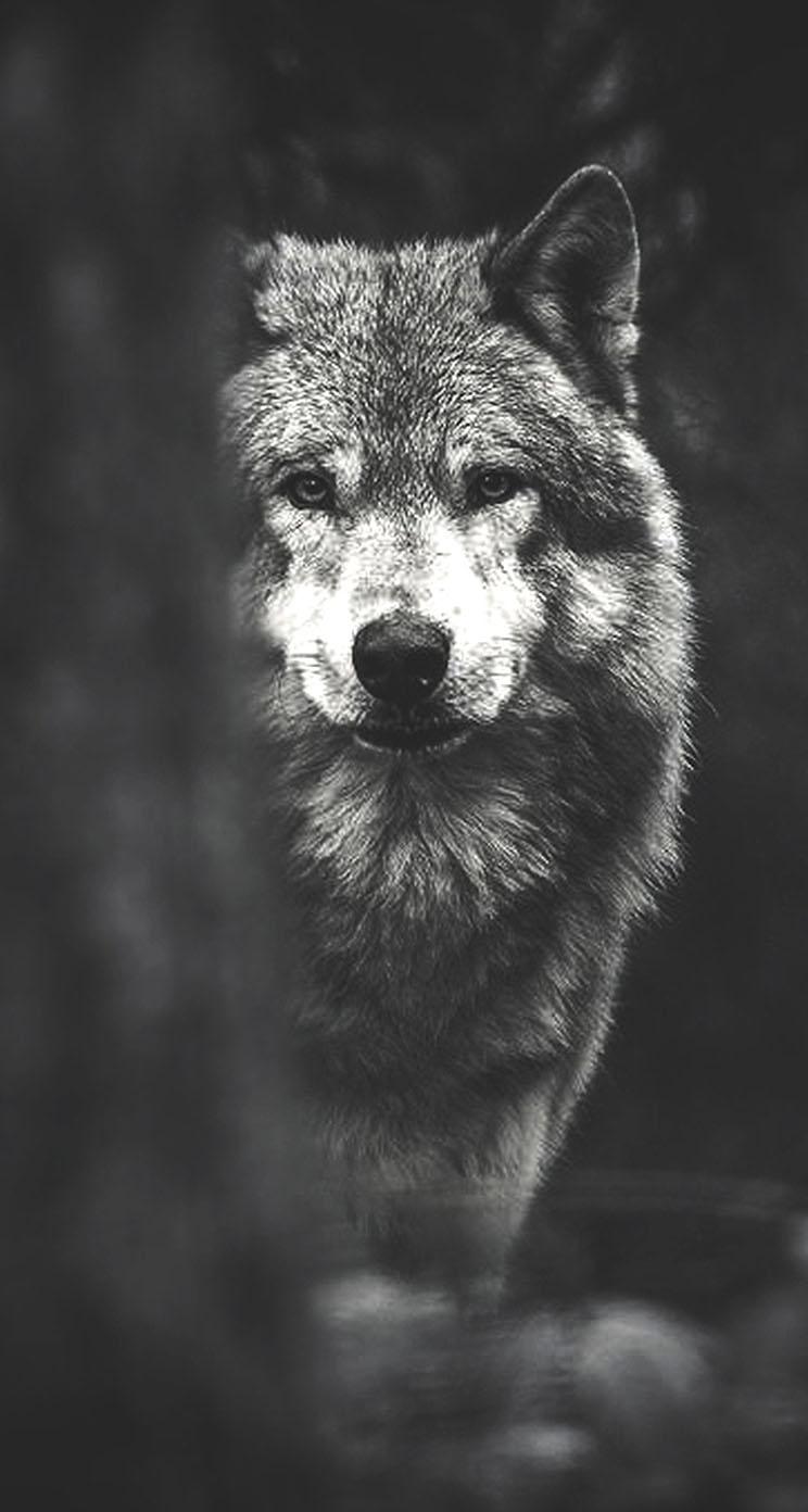 wolf wallpaper for iphone wallpapersafari