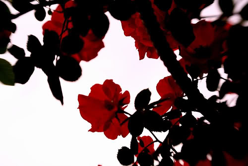 Free Download Red And Black Roses Photo By Tinefacebook Photobucket 500x334 For Your Desktop Mobile Tablet Explore 48 Black And Red Rose Wallpaper Black Roses Wallpaper Black And White