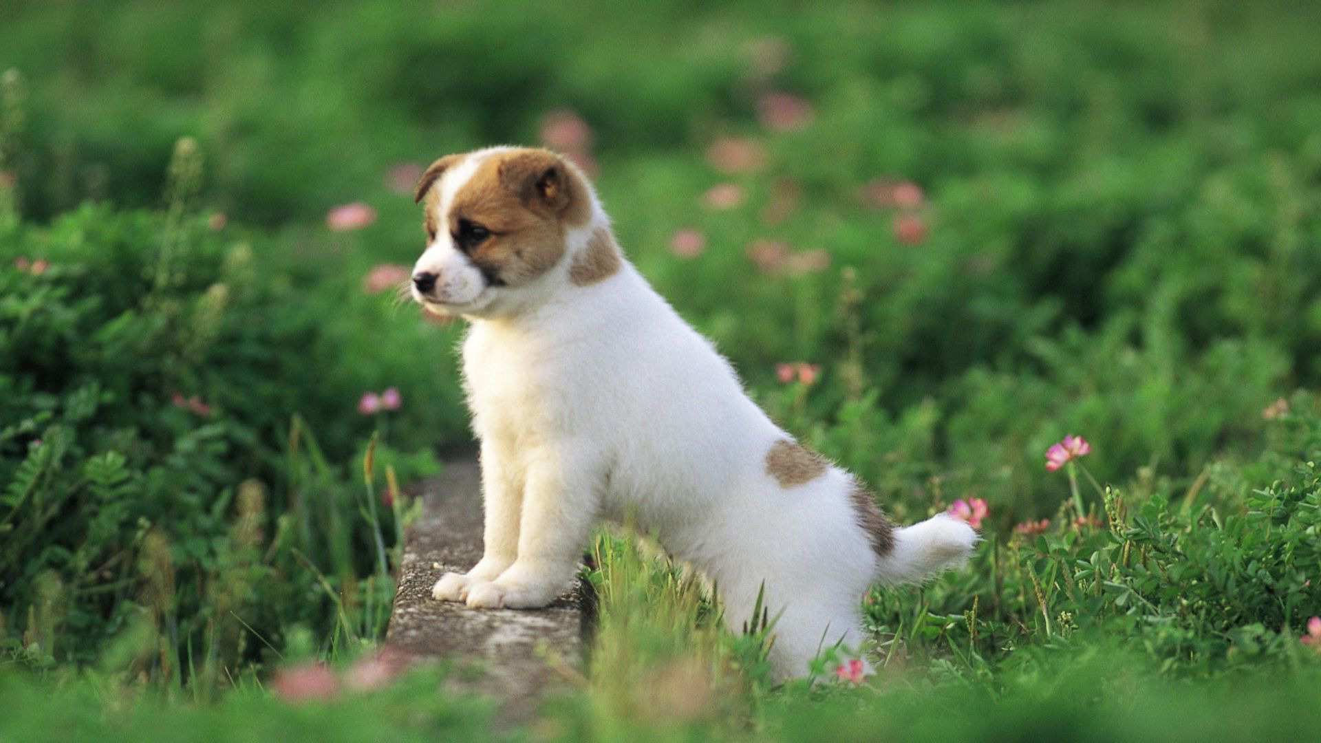 Cute puppy wallpaper   388822 1920x1080