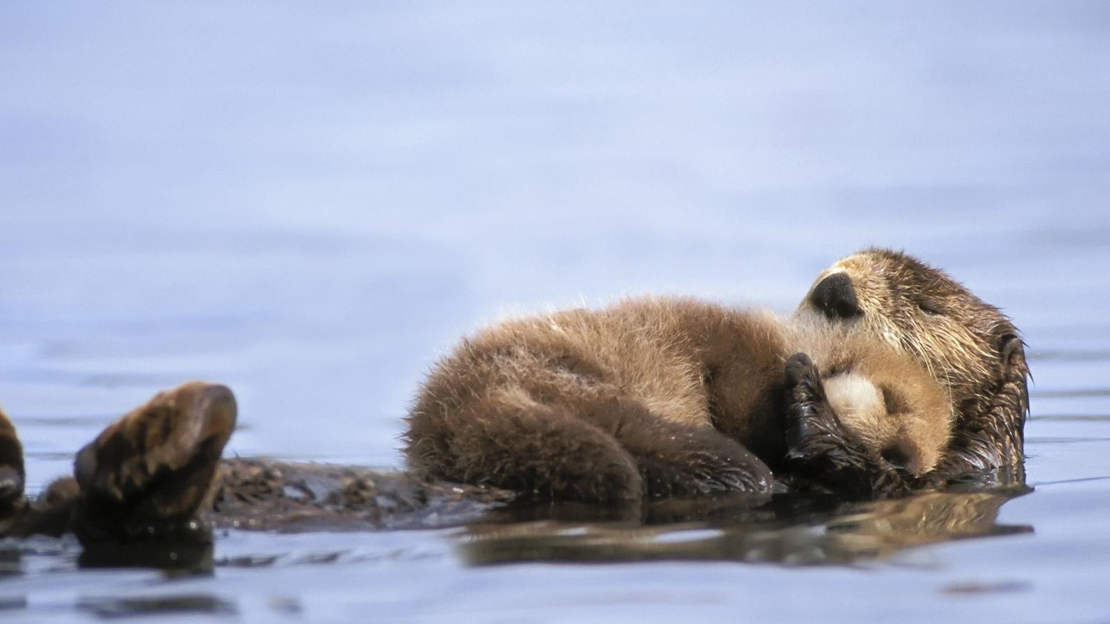 Animals alaska otters gulf baby sea wallpaper 24079 1600x900