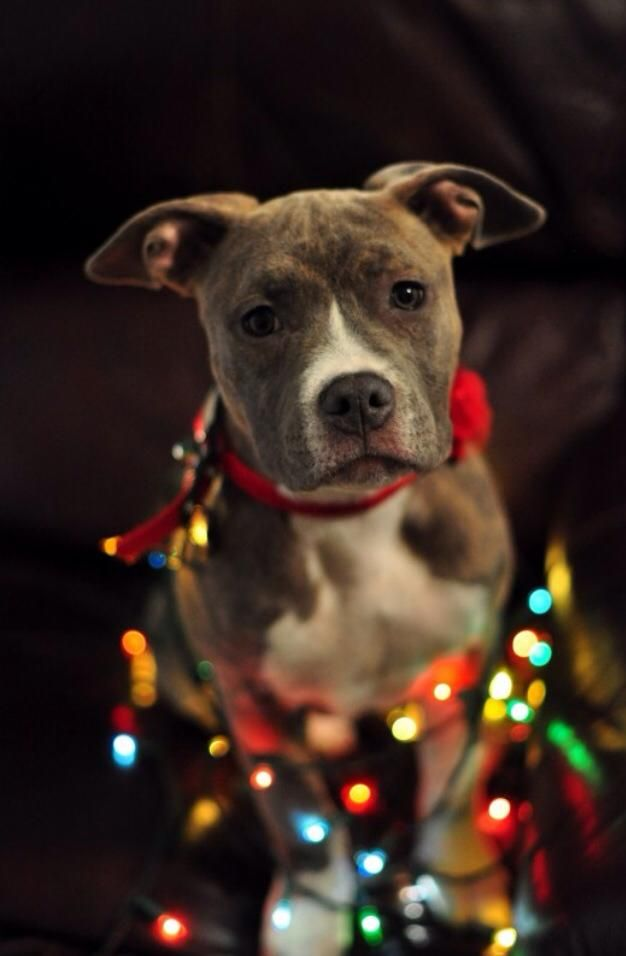 American Pit Bull Terrier Merry Happy Christmas Day Card Puppy Holiday 626x956