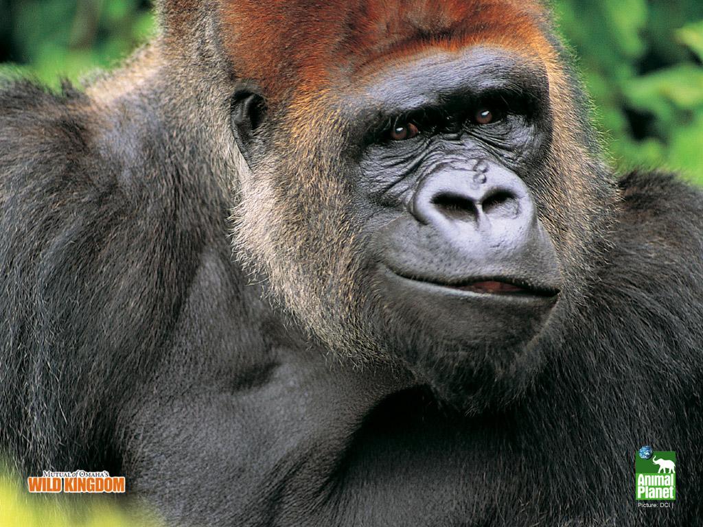 Gorilla Wallpaper 1024x768