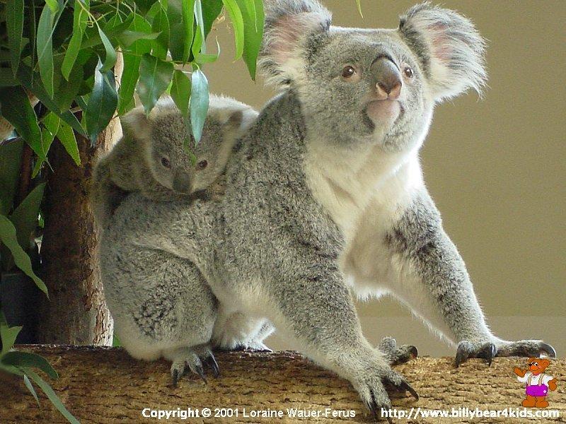 when a baby koala is first born the baby koala 800x600