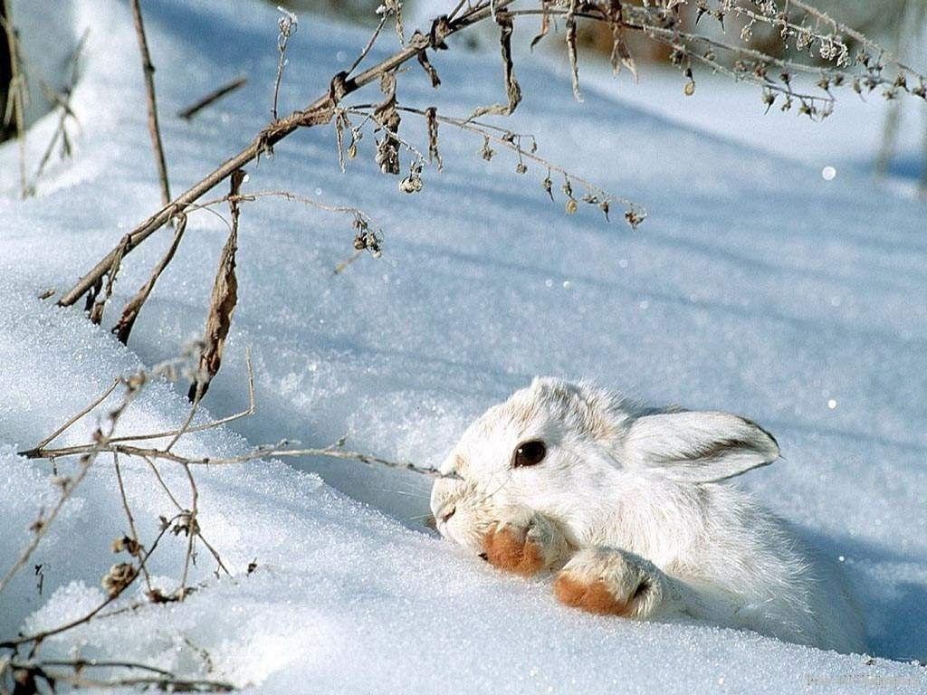 Snow Bunny   Wild Animals Wallpaper 2785485 1024x768