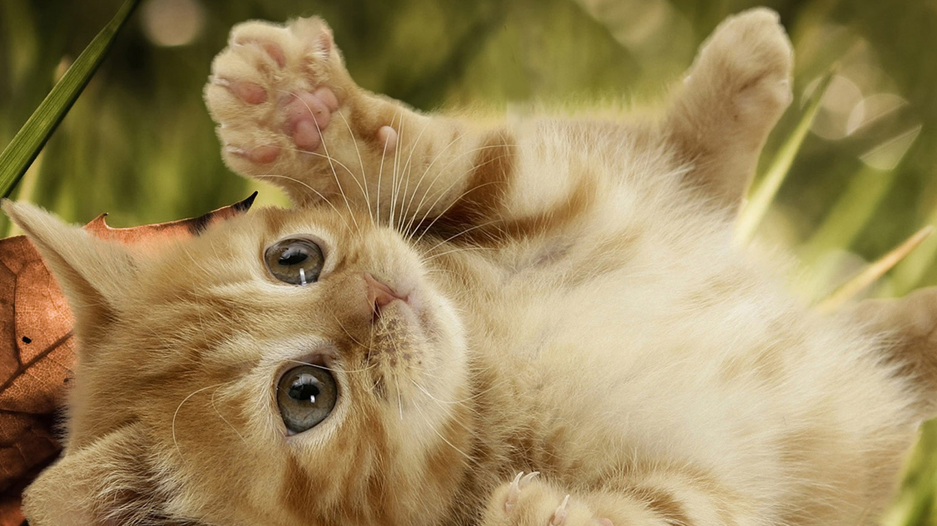 Cute Cat Wallpaper Hd Cat Wallpaper 1366x768