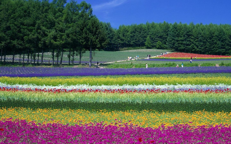 Furano Lavender Field 1440x900 WallpapersFurano 1440x900 Wallpapers 1440x900