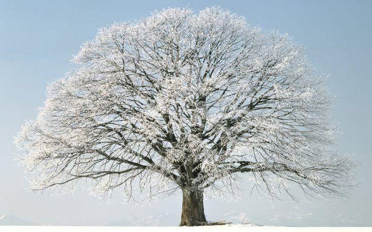 Desktop backgrounds Windows Vista Tree winter snow for windows 736x460