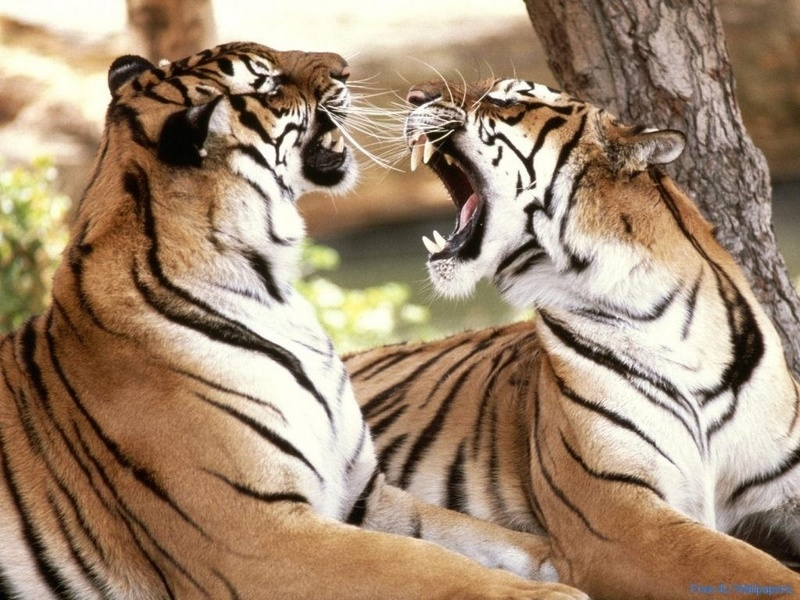 Wild Animal Wallpaper Wild AnimalFunny AnimalMating VideosPictures 800x600