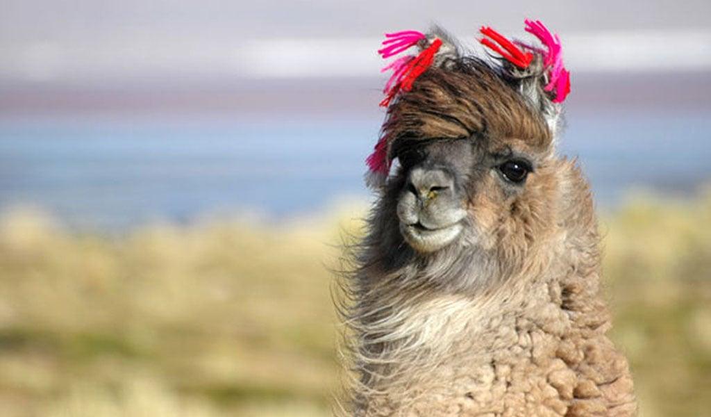 Funny Llama Hd Wallpaper Color Palette Tags Animals Funny Llama 1024x600