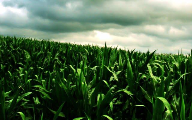 High resolution Green corn field wallpaper in NatureScenery desktop 640x400