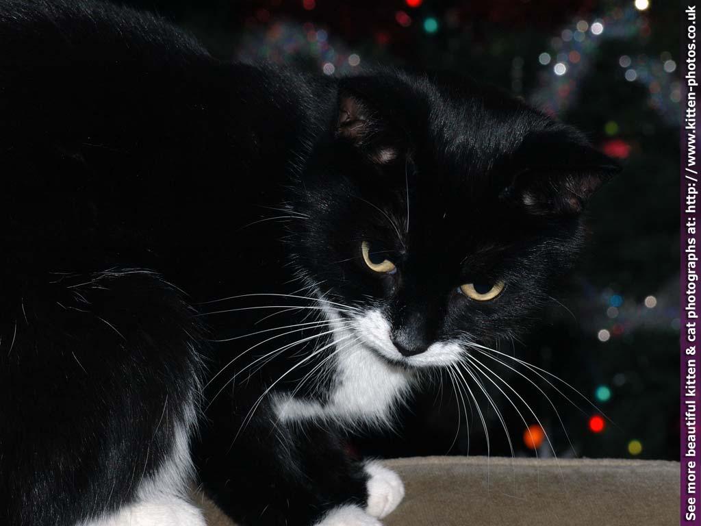 Free cat wallpaper and screensavers wallpapersafari - Kitten wallpaper ...
