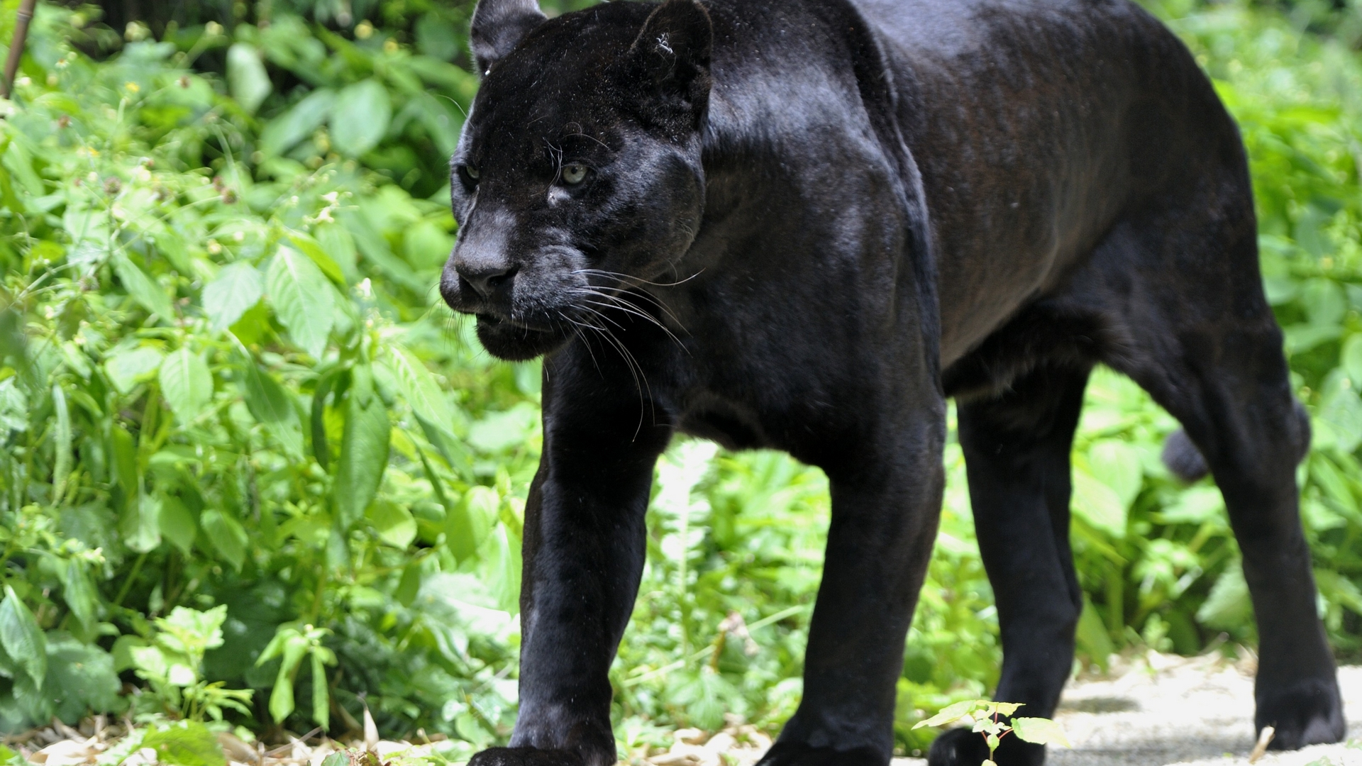 Wallpapers Animals Black Panther Wallpaper 1920x1080