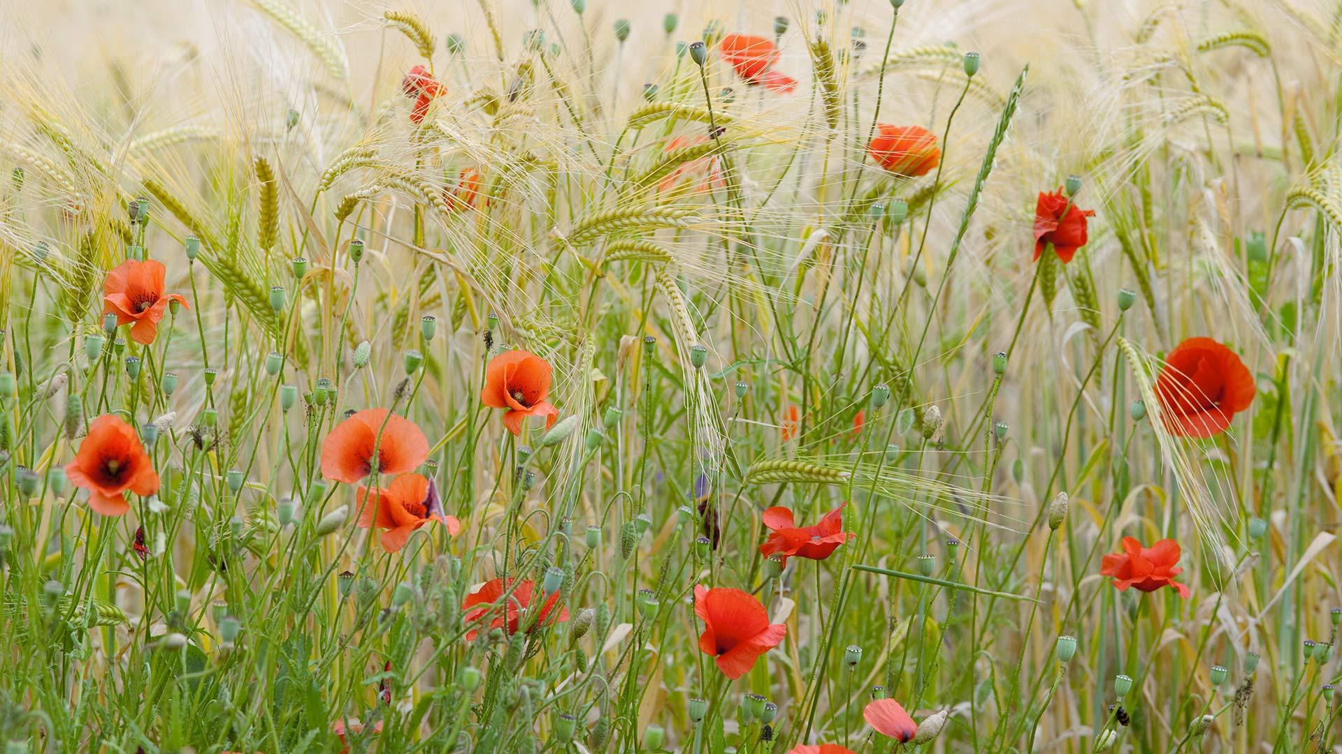 Provence Poppiesfield Bing Wallpaper Download 1920x1080