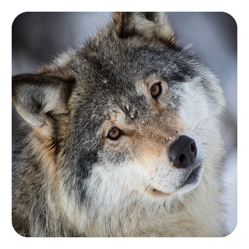 Wolves Live Wallpaper in Cafe Bazaar for Android 512x512