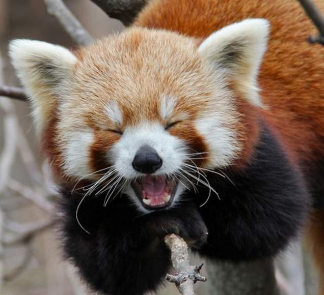 Red Panda Cute Animal Wallpaper HD Wallpaper WallpaperMinecom 500x610