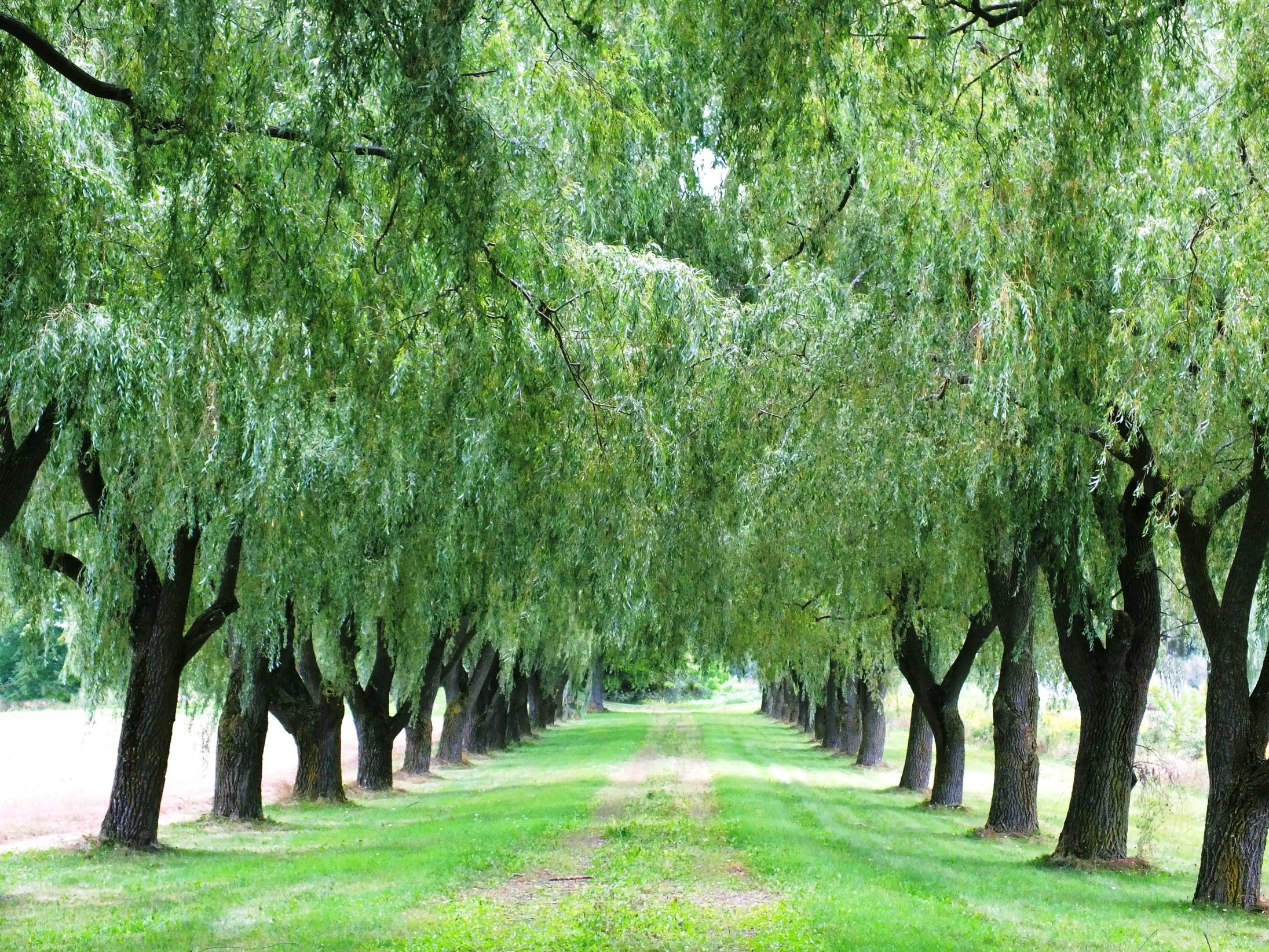 Weeping Willow Wallpapers 2191x1644