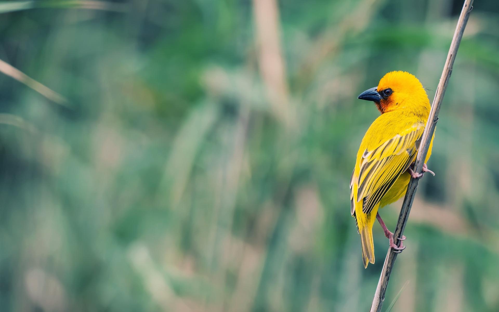 Download Small yellow bird wallpaper 1920x1200