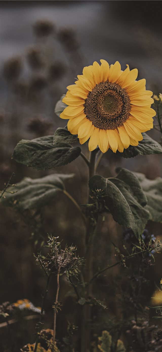 Sunflower iPhone X Wallpapers Download 640x1385