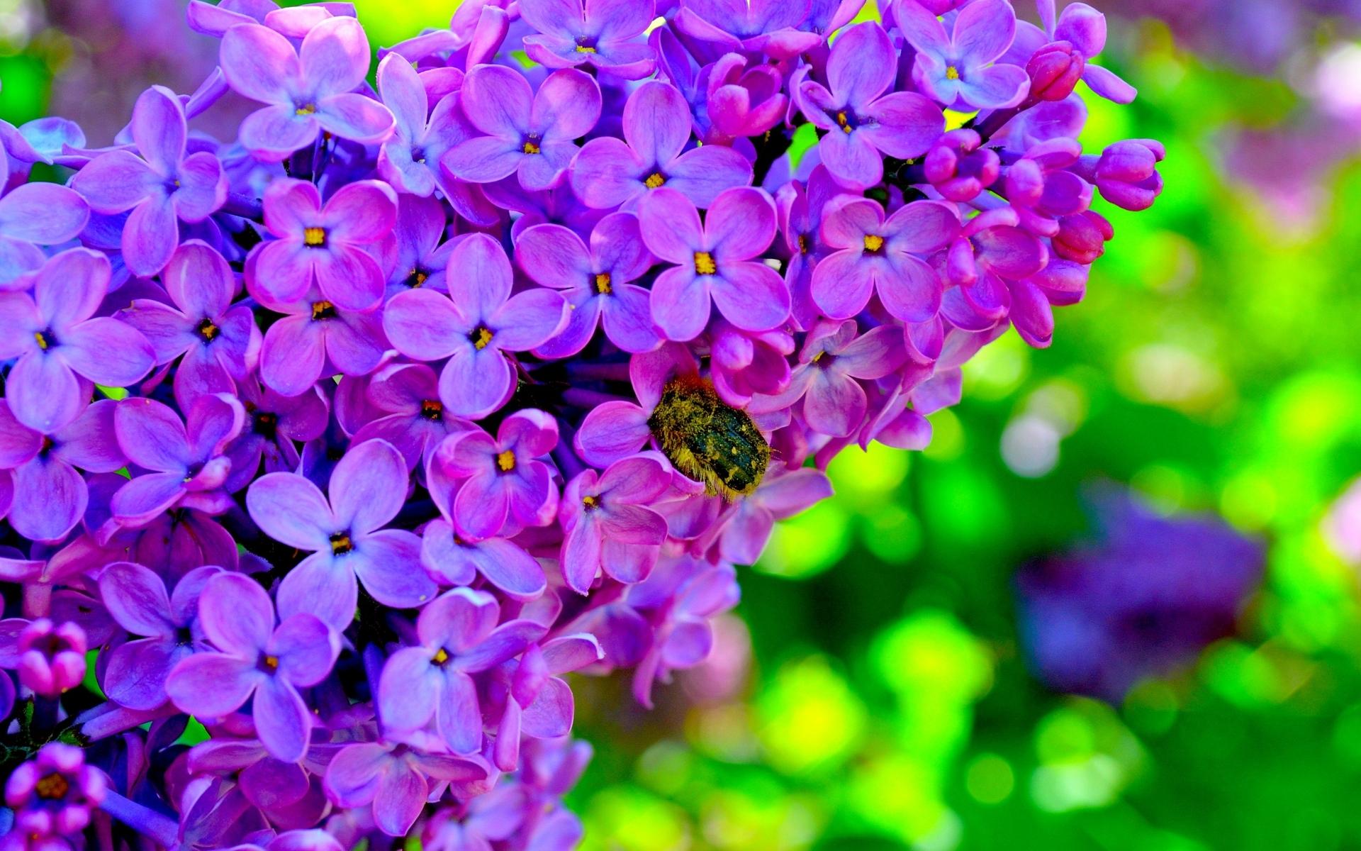 цветы природа сирень  № 2224228 загрузить