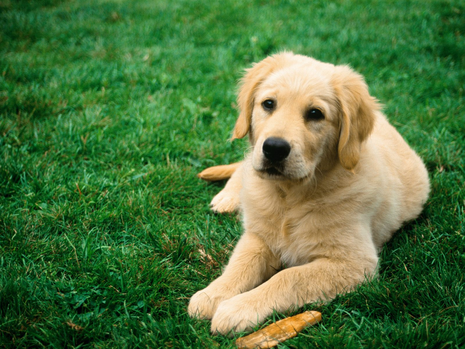 dogs wallpapers dog wallpaper dog wallpapers dogs wallpaper dogs for 1600x1200