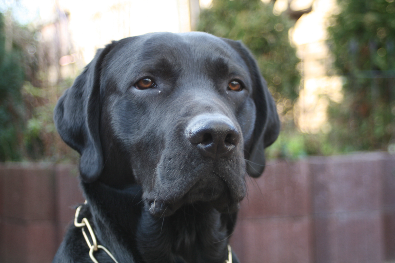 HD Black Labrador 3000x2000