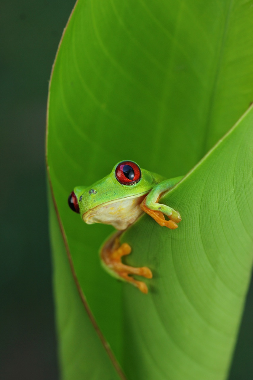 Free Download Red Eyed Tree Frog Agalychnis Callidryas Hd Walls Find Wallpapers 854x1280 For Your Desktop Mobile Tablet Explore 47 Red Eyed Tree Frog Wallpaper Bing Tree Frog Wallpaper