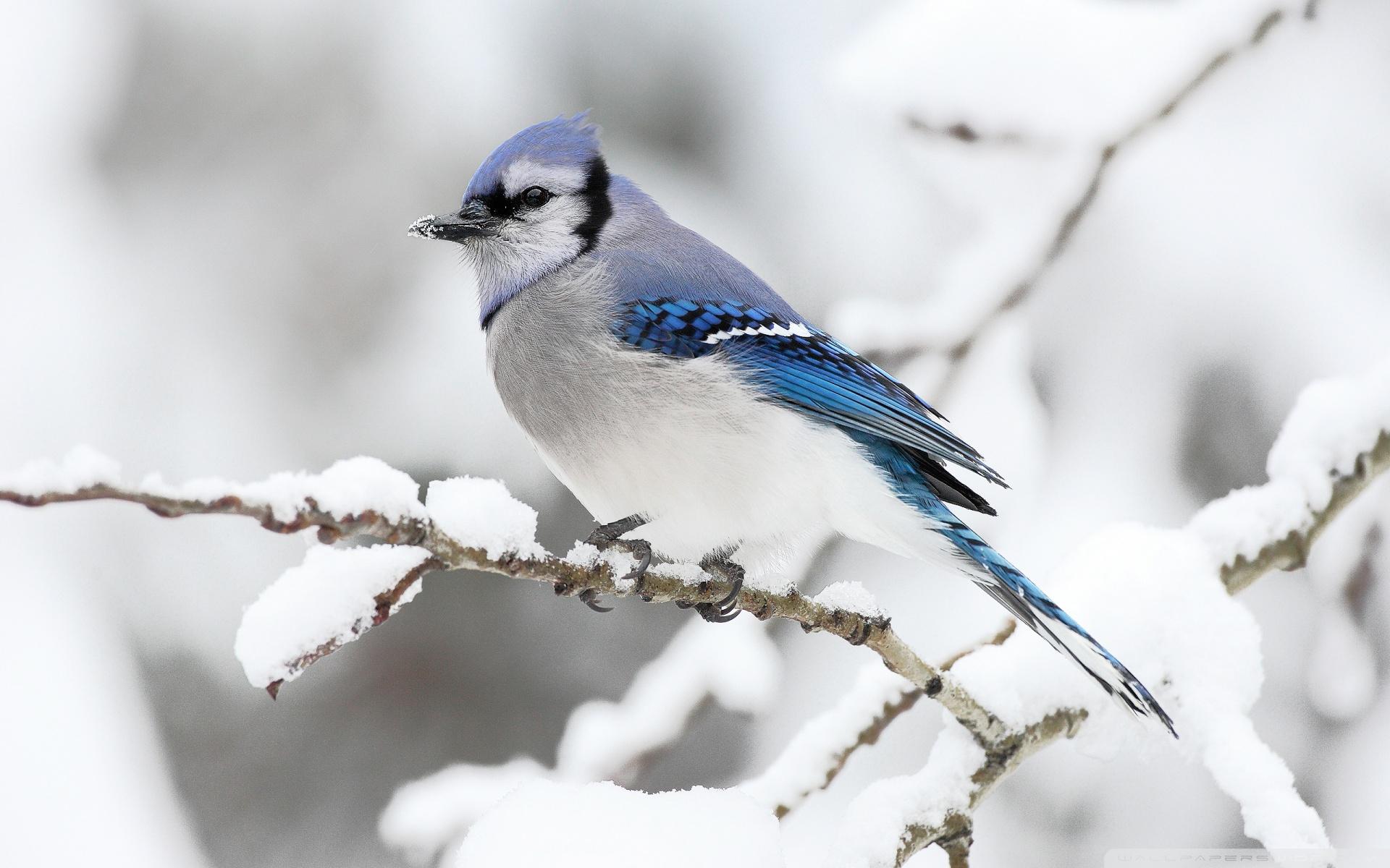 Beautiful Bird Winter HD desktop wallpaper Widescreen High 1920x1200