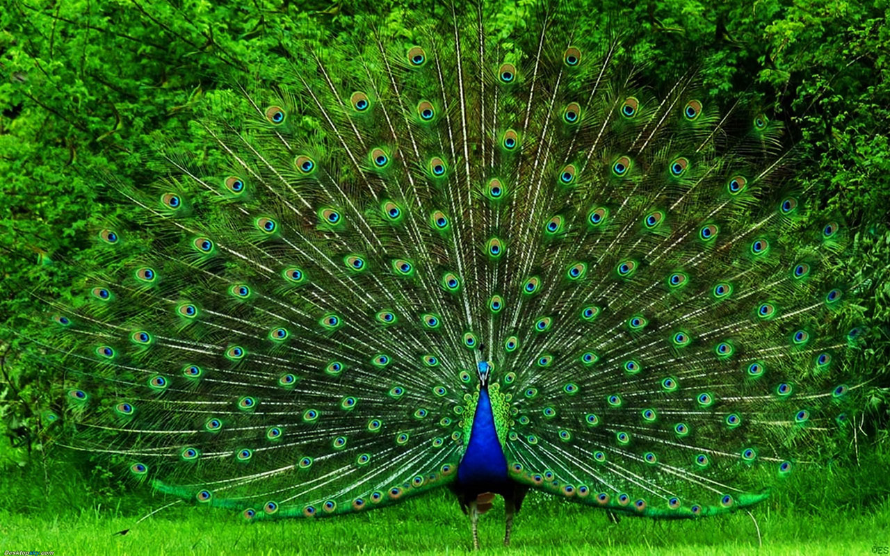 Peacock HD Wallpapers Pictures Images Backgrounds Photos 1280x800